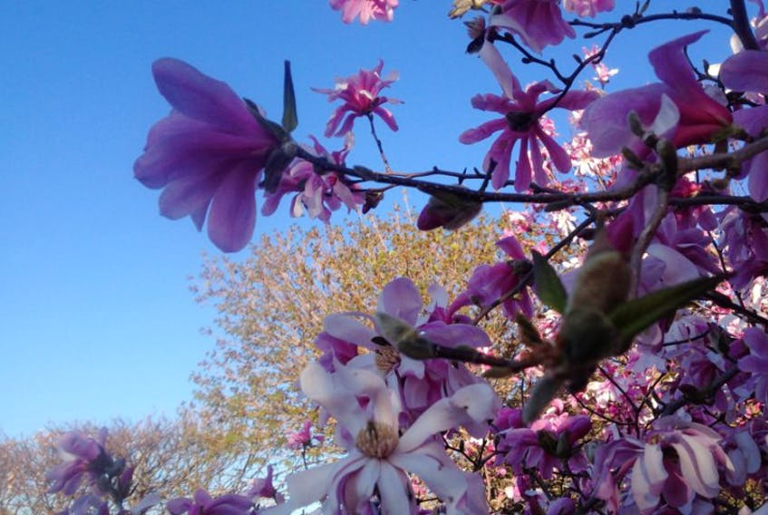 Magnolia blossoms waiting for the sun to come around May 14 in Kentville