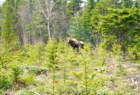 ['<p>The mainland Nova Scotia moose numbers haven't been climbing, due to a number of factors.</p>']