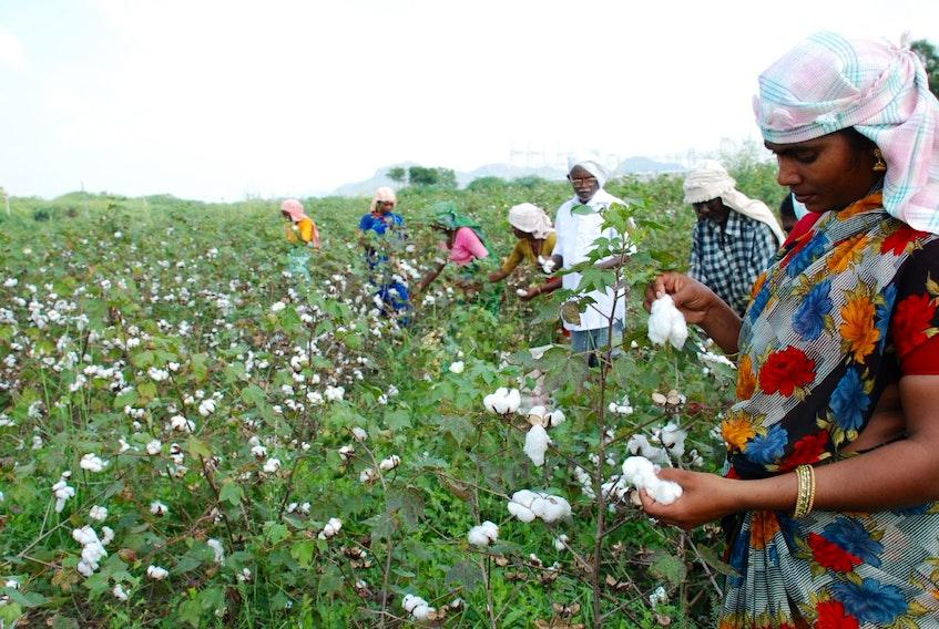 Women pick cotton in a field.