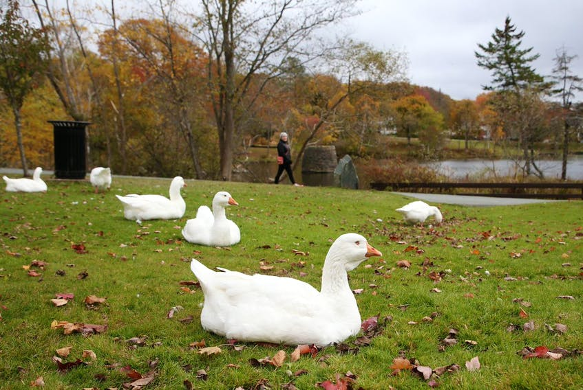 The resident Sullivan's Pond geese relax on the grass at the Dartmouth park Wednesday, Oct. 30, 2019.