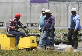 Ottawa promises a safer 2021 growing season. Here, migrant workers are shown at a greenhouse agri-food operation in Kingsville on June 25, 2020.