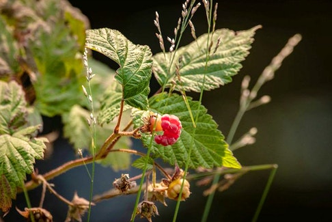 Fireblight is a frequent problem for raspberry plants.