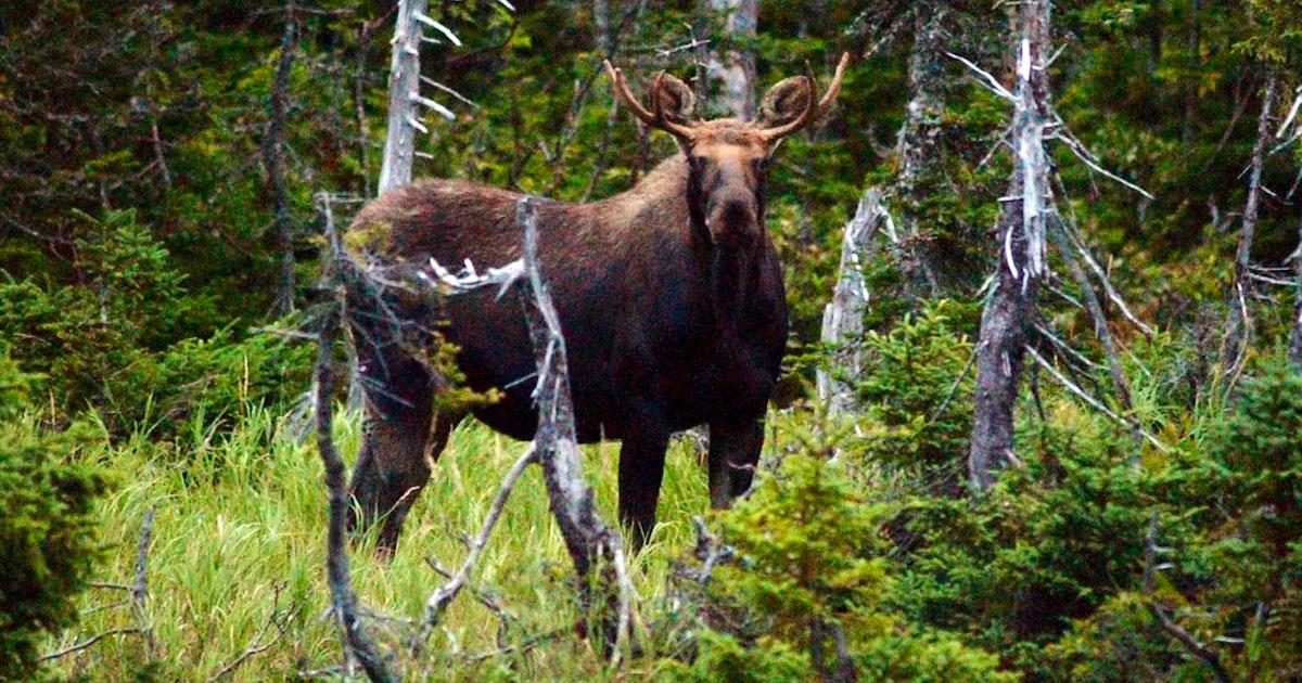 Nova Scotia 'whacking away' at mainland moose habitat, wildlife biologist says | Saltwire