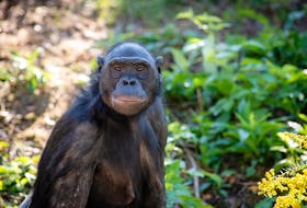 Unga, a bonobo or pygmy chimpanzee, died last week at the Columbus Zoo and Aquarium in Ohio. She was one of two primates stranded in Gander for five days on Sept. 11, 2001. Photo courtesy Grahm S. Jones/Columbus Zoo and Aquarium