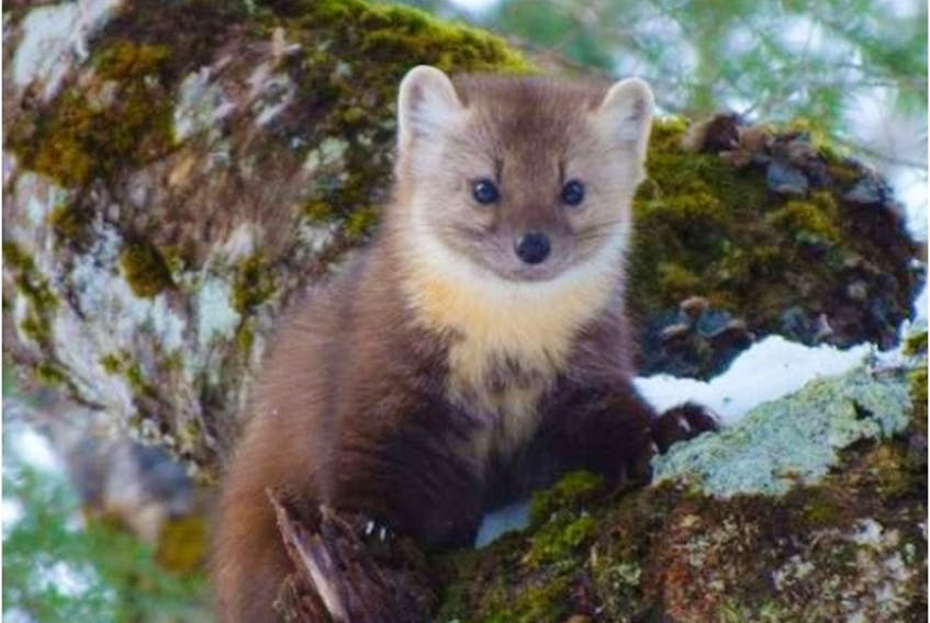 The Newfoundland marten, a subspecies of the American marten. In 2007, they went from being endangered to being classified as threatened because of an increase in the population. - Photo by Bailey Parsons