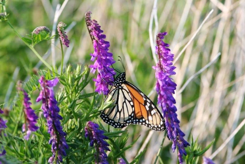 The monarch butterfly is now classified as endangered, and is one of 11 new species added to the Nova Scotia Department of Natural Resources' list of at risk species.