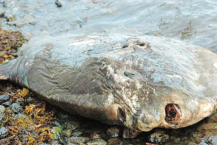 An Ocean Sunfish was found in Pistolet Bay recently. With the perception of a tropical fish, Dr. Jack Lawson, with DFO, says the species has a stronger presence in this province than leatherback turtles.