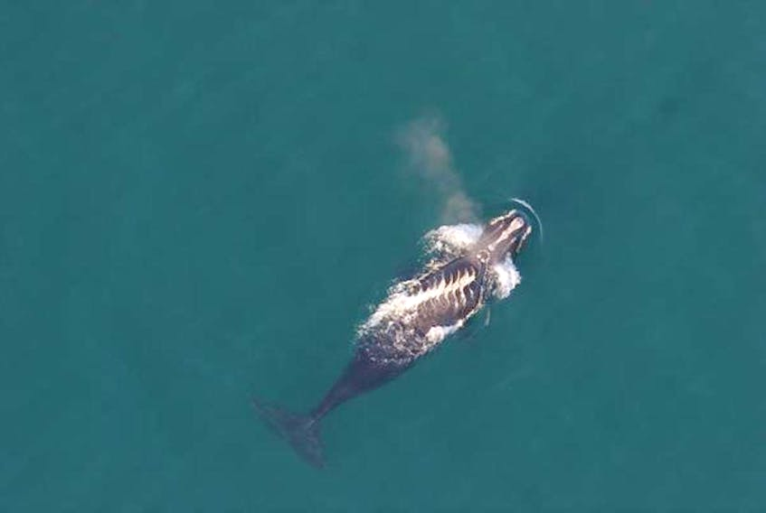 Right whale #3853 with a series of fresh propeller wounds running across its back. Photo courtesy Oceana Canada