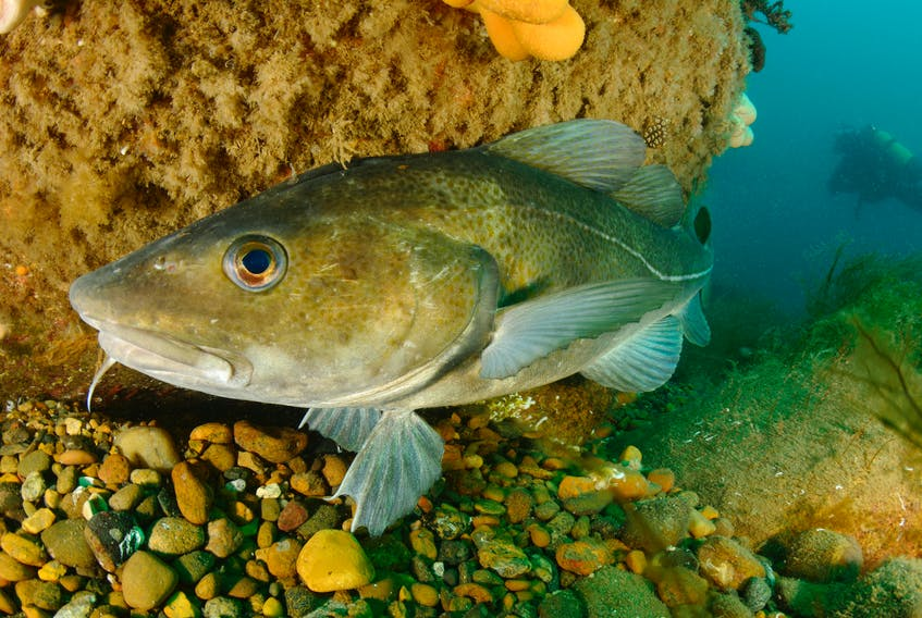 The Northern cod stock remains in the critical zone, as DFO says recently observed stock growth between 2012 and 2016 may have stalled. According to DFO, ecosystem conditions indicate limited productivity and reduced food availability may be limiting growth of cod. -CONTRIBUTED PHOTO COURTESY OCEANA CANADA/CARLOS MINGUELL