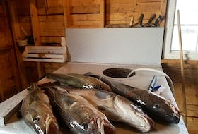 Cod caught off Twillingate in 2020 as part of the recreational food fishery. — John Gillett photo