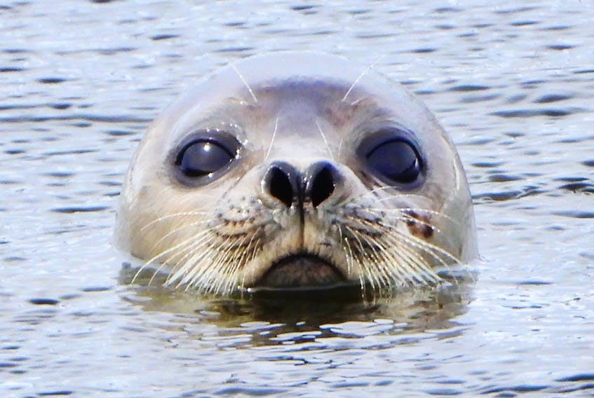 A seal peeks his head over the water at the East Bay Sandbar on Sunday, long enough for amateur photographer Jeannie Fraser to snap a close-up. CONTRIBUTED/JEANNIE FRASER