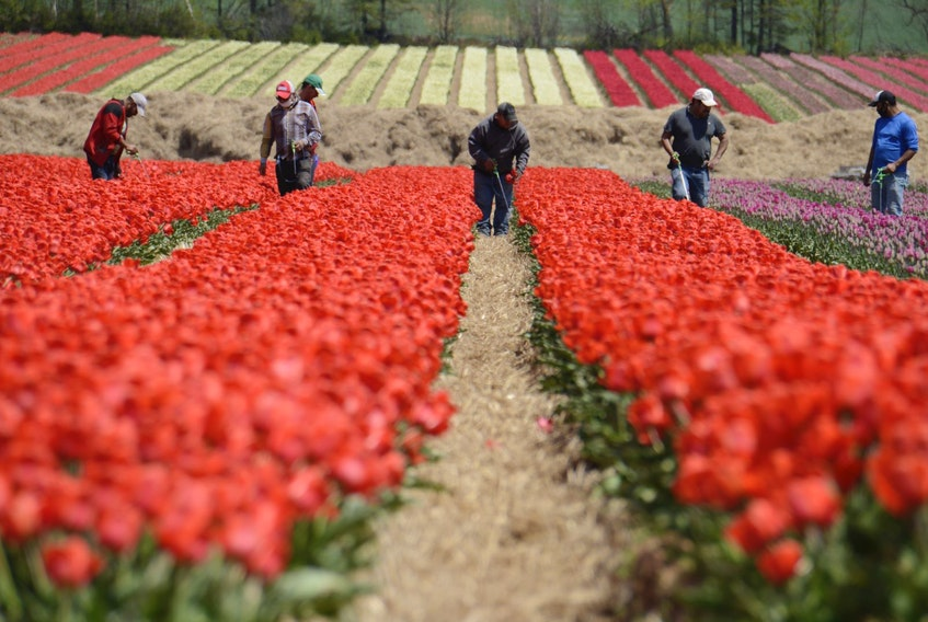 Farmworkers work in a field of tulips last summer in Prince Edward Island.