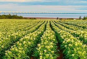 Potatoes grow in a field near the Confederation Bridge in P.E.I.