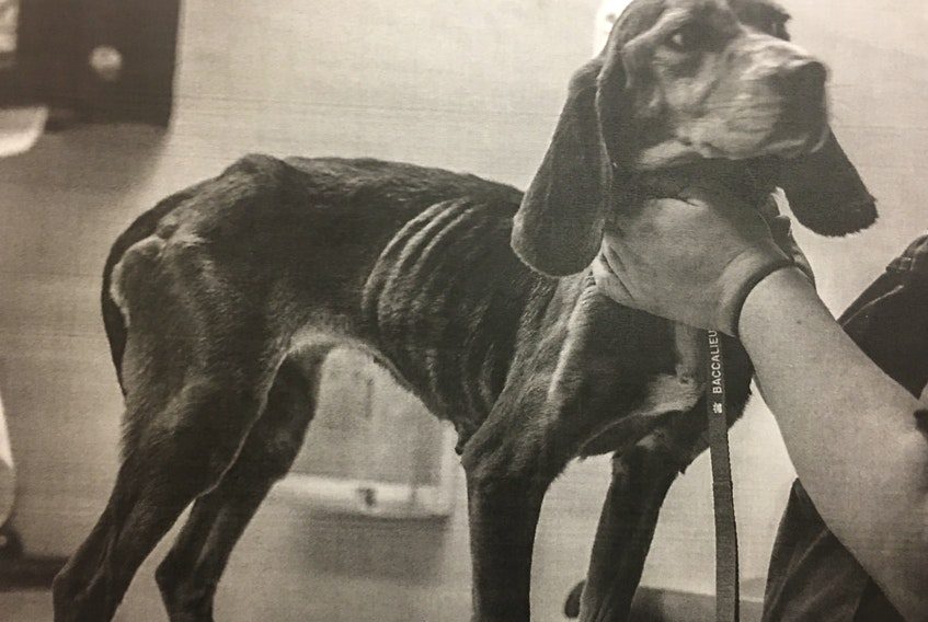 This photo of one of Robert Picco's beagles was submitted as evidence in his animal cruelty trial. Picco was acquitted Monday, with the judge ruling he hadn't acted wilfully to cause the dogs pain, suffering or neglect.