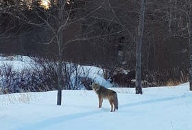 Contributed  The Trout River Nature Trail in Prince County was temporarily closed this week after two walkers had a close encounter with a coyote. Wildlife officials say this is mating season for the animals and Islanders are more likely to encounter them this time of year.