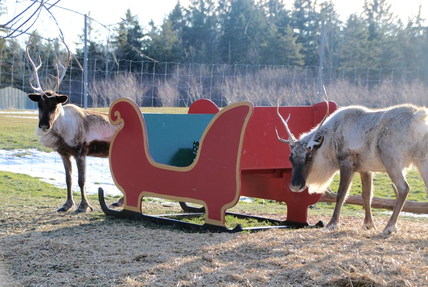 The reindeer are ready to go. LYNN CURWIN/TRURO DAILY NEWS