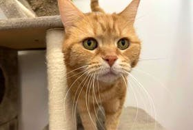 Sandy, a 12-year-old female cat, is one of the animals up for adoption at the Nova Scotia SPCA's Cape Breton shelter. The Nova Scotia SPCA will offer adoptions by appointment beginning today. Contributed