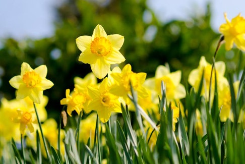Daffodils are perfect to plant in the fall and are beautiful to see bloom in the spring.