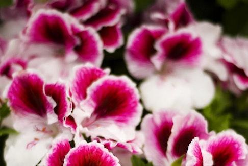 In late spring, Martha Washington geraniums are popular gift plants.