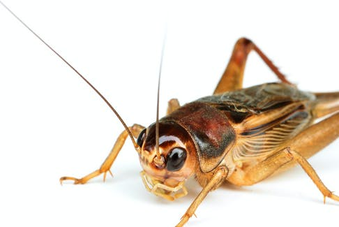 Common field cricket