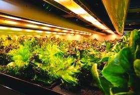 Green leaf lettuce grows inside Elevate Farms' vertical farming facility in Welland, Ont. Josh Siteman/Handout via REUTERS