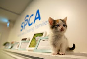 A kitten is seen in the veterinary clinic at the Nova Scotia SPCA shelter in Dartmouth on Wednesday, Dec. 23, 2020. The SPCA will be opening an animal hospital in early 2021 that will give pet owners access to veterinary care for their pets regardless of their financial situations.