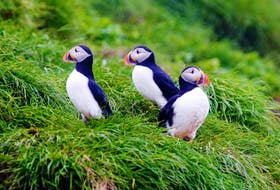 Colonial seabirds such as puffins are among the key species and ecosystems for protection in the Nature Conservancy of Canada's new conservation plan for the Avalon Peninsula.