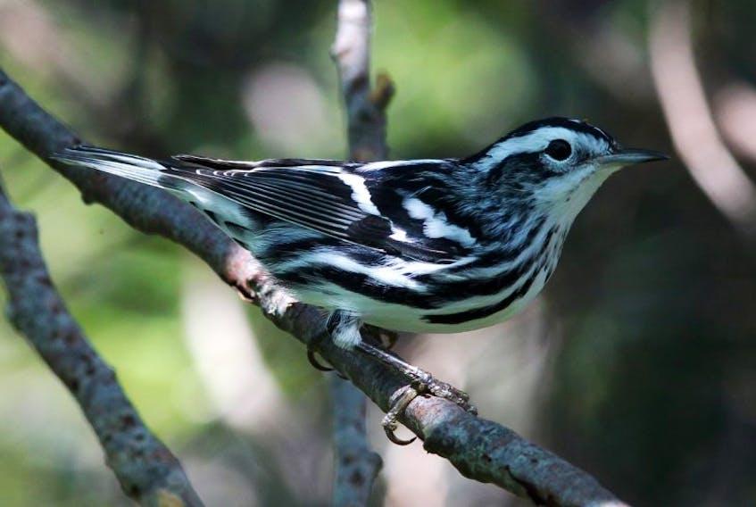 The common Newfoundland black-and-white warbler is a bird of wonder through Irish eyes.