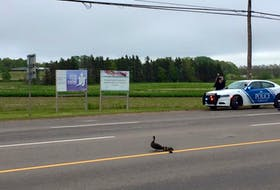 Lucy and her ducklings cross University Avenue on Tuesday morning under the watchful eye of Charlottetown police officers.