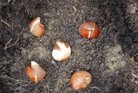With winter approaching, it's a good time to plant bulbs in anticipation of colour in the spring.