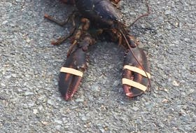 One of the banded lobsters thrown in front of fishermen's houses in Mushaboom on Monday.