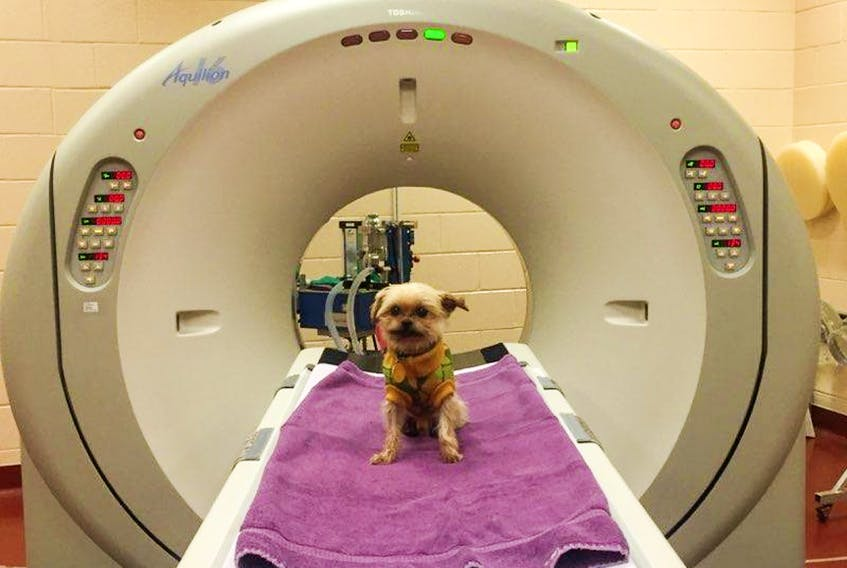 This is Wally, a little rescue dog having an MRI at the Atlantic Veterinary College in P.E.I. Elizabeth Andrews took the picture and she also adopted little Wally.