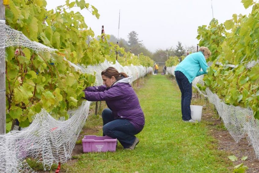 More 40 volunteers showed up to help with the grape harvest this year, each clipping bunches of grapes off the plants before setting them in purple carrying bins. An estimated 5,000 pounds of grapes were harvested.