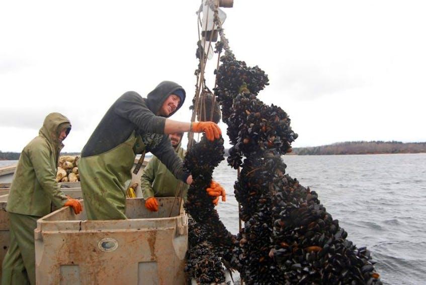 Blue mussel farming on Prince Edward Island.