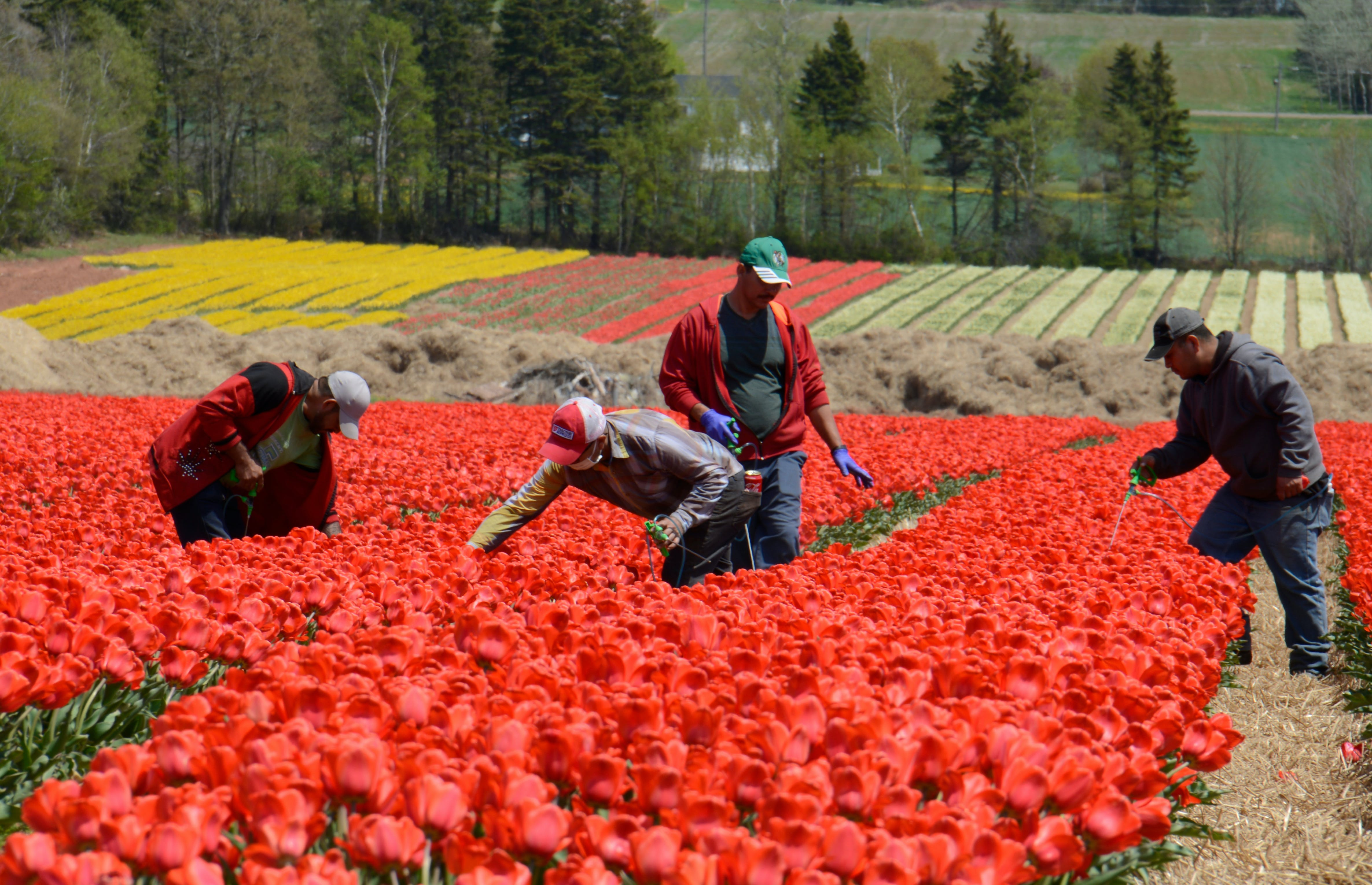 Showing their colours Vanco Farms employees work on a field of tulips in Waterside on Thursday. They are looking for different colours and viruses. Those plants then get removed so the stock stays healthy. The 50 acres of fields are located on the Waterside Road near Pownal and the tulips can be seen from the Trans-Canada Highway. People are able to view the flowers from Waterside Road, but are reminded entering, walking or driving through the field is prohibited and the flowers cannot be picked. Bulbs are planted in the fall and then covered in straw to protect them from weather fluctuations. When the tulips are in bloom, the petals are removed to let energy of the plant feed back into the bulb. The plants are left for about six weeks, allowing the bulbs to grow and propagate. The bulbs are harvested in mid-July. The company uses the larger bulbs in its greenhouse production and for sales to the landscape trade. The smaller ones are kept for another growing cycle in the field. Vanco is the only farm growing field tulips for bulb production on the east coast of North America. There's also a one-acre field at Belfast Tulips, which is opening today at 9 a.m. One half is a u-pick and the other half is for professional photos. There's a $10 admission and the price for a full bucket is $25. Jason Malloy/The Guardian