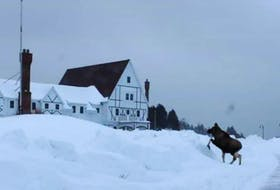 Though the moose population in Cape Breton has rebounded, there was once a time when over hunting pushed the animal to near extinction in these parts. One of the animals is shown near the Keltic Lodge in 2015. CONTRIBUTED - Kathleen Chisholm