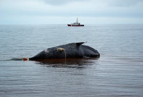 A dead North Atlantic right whale being pulled to shore in Norway, P.E.I. in 2019, so that a necropsy could be performed. Results suggested the whale died of blunt force trauma consistent with a ship strike. - File photo