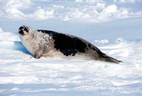 An adult harp seal. DFO photo