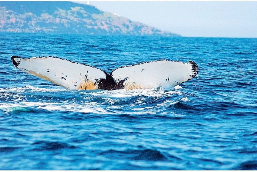 This picture of a humpback fluke was taken by Fisheries and Oceans Canada.