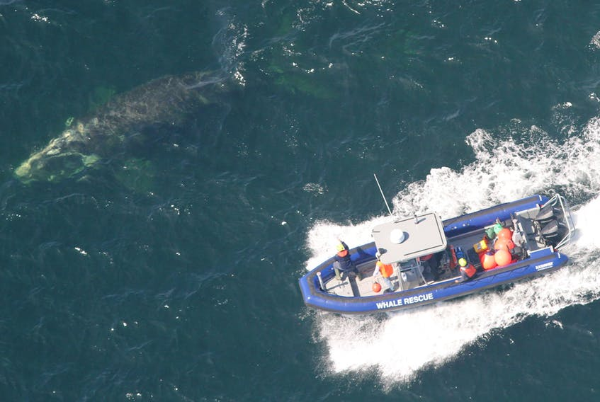 Members of the Campobello Whale Rescue Team attempt to disentangle a right whale off the coast of New Brunswick.