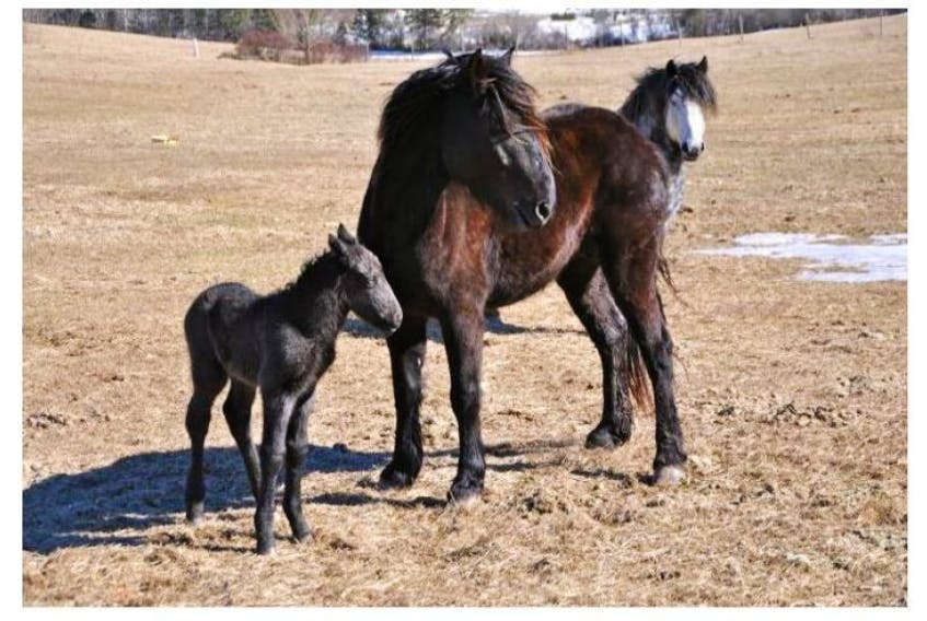<p>The public rallied in 2014 to relocate the horses that called the Fundy Gypsum property in Sweets Corner home. (File photo)</p>