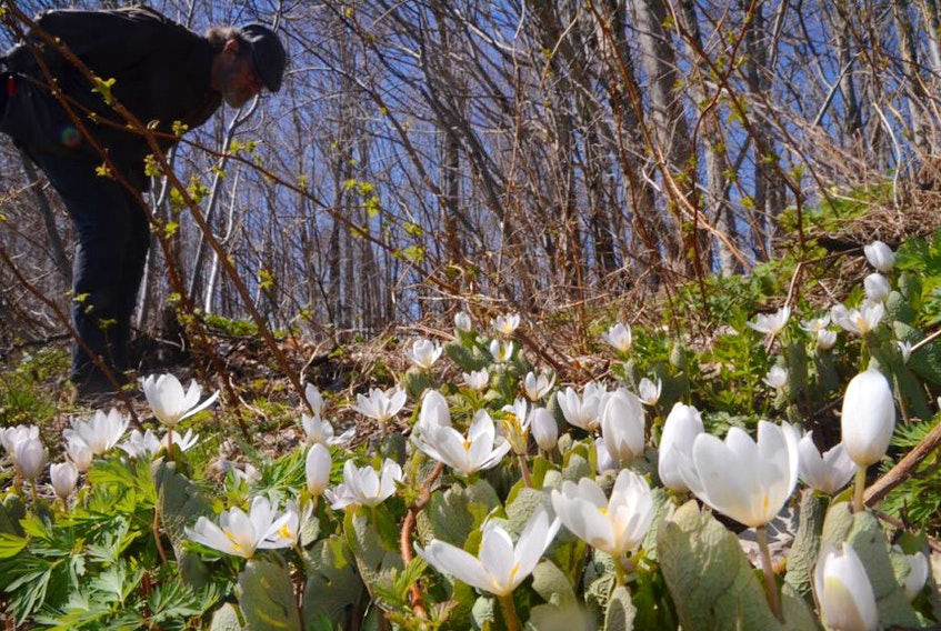 Wildflowers are blooming in our old forests. Bruce Partridge surveys a patch of blood root in Antigonish County on Tuesday.