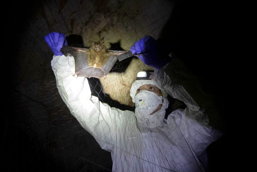 A researcher removes a bat from a trapping net inside a cave at Sai Yok National Park in Kanchanaburi province, west of Bangkok, Thailand, on Aug. 1. Researchers in Thailand have been trekking through the countryside to catch bats in their caves in an effort to trace the murky origins of the coronavirus.