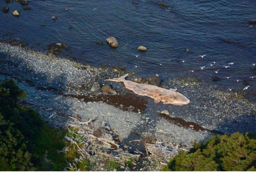 The rotting carcass of an endangered right whale has washed ashore south of Trout River in western Newfoundland.