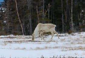A lone caribou is seen foraging on a bog near White's Road between Black Duck Siding and Stephenville Crossing in mid-March. A herd of caribou have been frequenting the area for about eight years.