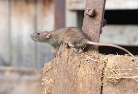 A Stephenville couple is dealing with a rodent problem on their property at Queen Street Ext.