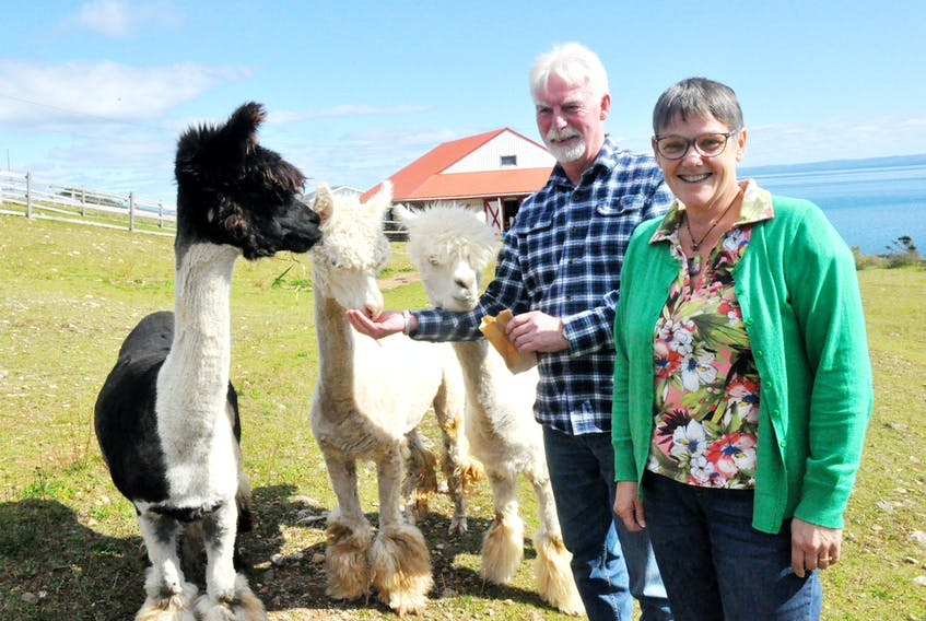 Ed Hutchings and Cathy Whitehead, the Felix Cove couple who operate Alpacas of Newfoundland, are shutting down the business at the end of this month. Here, they pose for a photo with some of the alpacas that remain on the farm but have been sold.