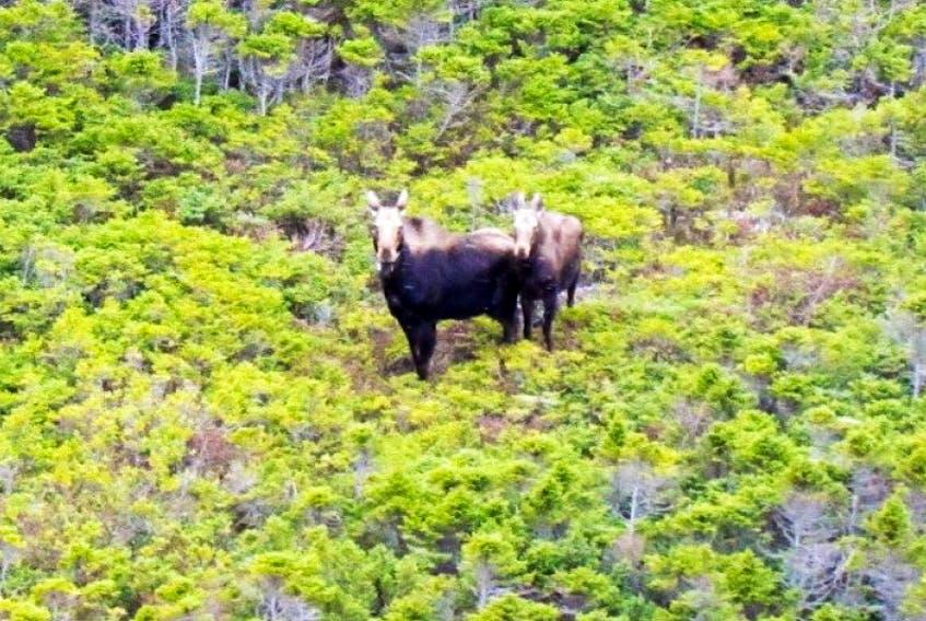 Moose in Gros Morne.