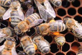 The honeybee industry contributes to the Nova Scotia agricultural economy through the production of honey, related products and pollination.